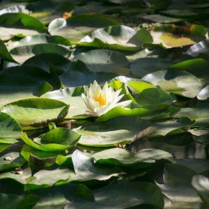 lotusgarden2