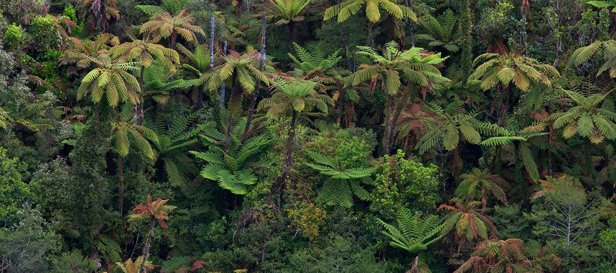 aya-forest